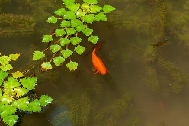 Lindo parque com folhas de algas verdes na água e peixes dourados