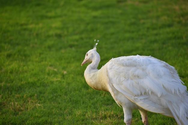 Lindo pavão branco de perto