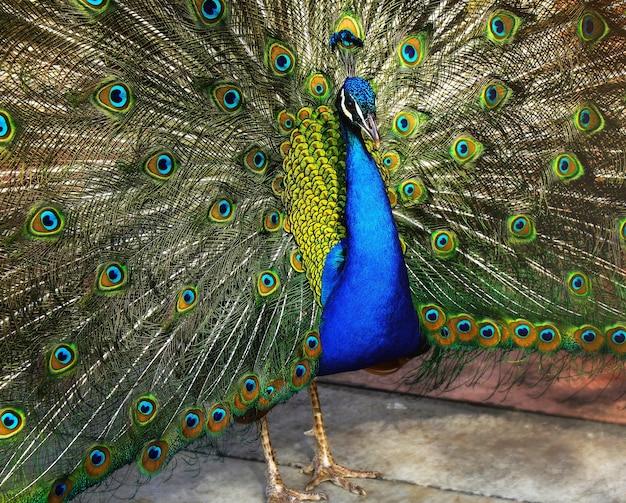 Lindo pavão indiano com penas de pavão na cauda