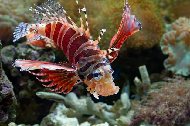 Lindo peixe-leão anão fuzzy nos recifes de coral close up de peixe-leão anão fuzzy