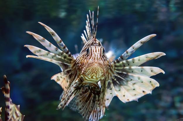 Lindo peixe-leão pairando no meio da água, caçando pequenas presas na água azul