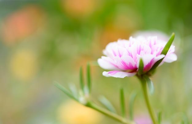 Lindo pequeno campo de flores rosa com fundo pastel suave em dia ensolarado
