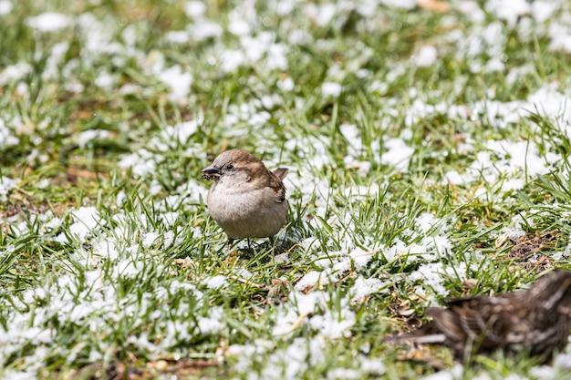 Lindo pequeno pardal sentado no campo coberto de grama