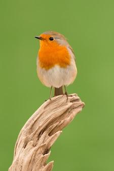Lindo pequeno pássaro