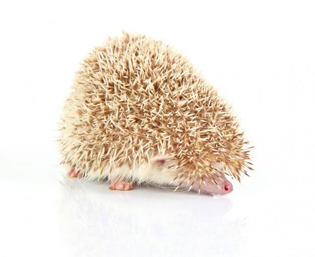 Lindo pequeno porco-espinho