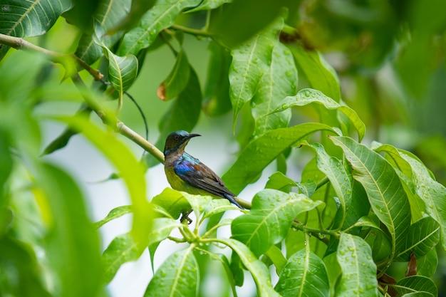 Lindo pequeno sunbird desfrutando com uma gota de chuva na mangueira close-up