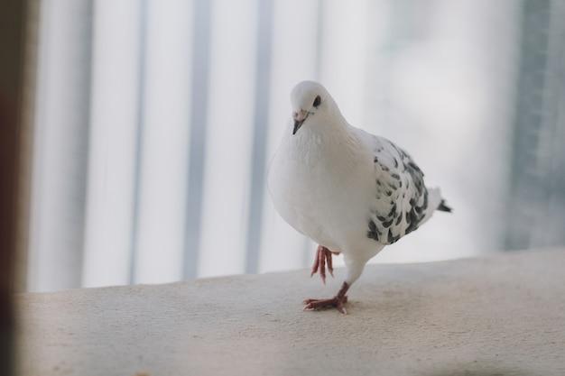 Lindo pombo branco na varanda