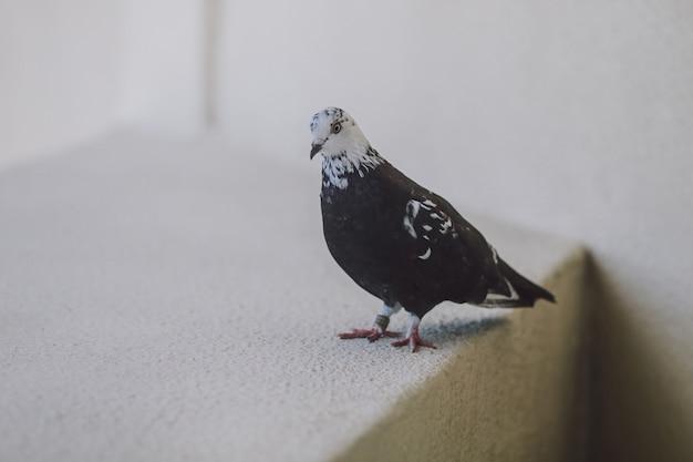 Lindo pombo escuro na varanda