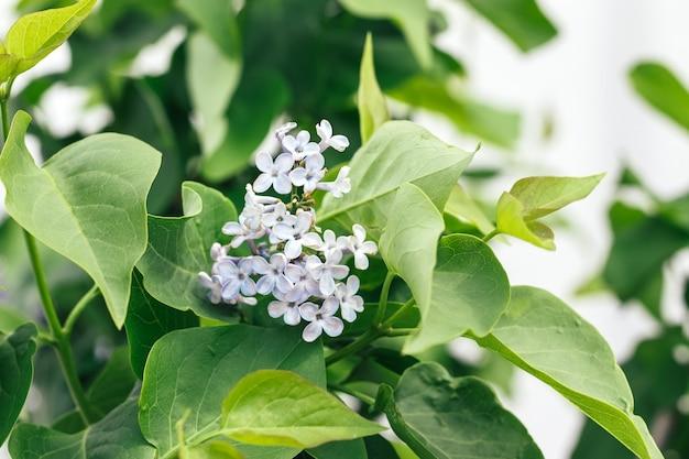 Lindo ramo de lilás com folhas verdes. foco seletivo. vista do close up. fundo desfocado