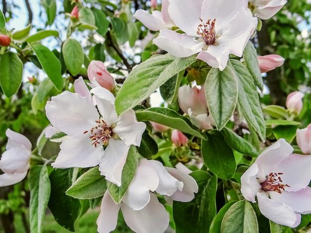 Lindo ramo florido de macieira