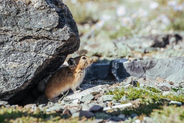 Lindo roedor pika