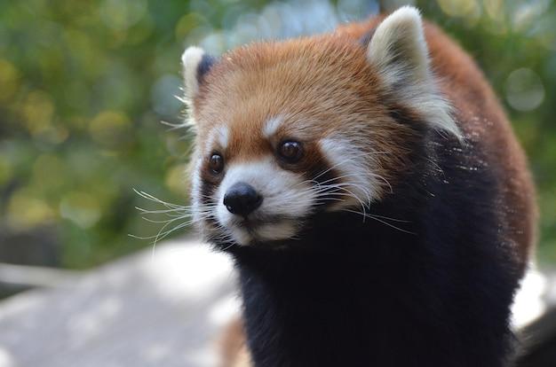 Lindo rosto de um urso panda vermelho com longos bigodes.