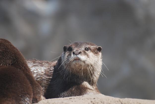 Lindo rosto de uma lontra de rio sentada no topo de uma rocha.