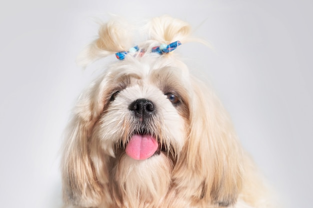 Lindo shih tzu mostra cachorro de classe em fundo branco