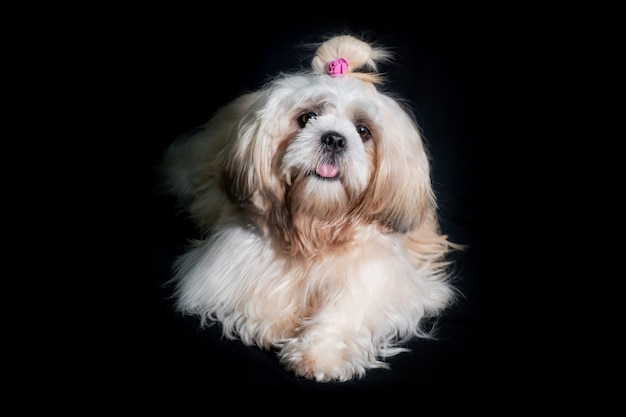 Lindo shih tzu mostra cachorro de classe em fundo preto