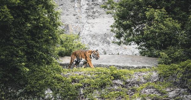 Lindo tigre gracioso vai caçar,