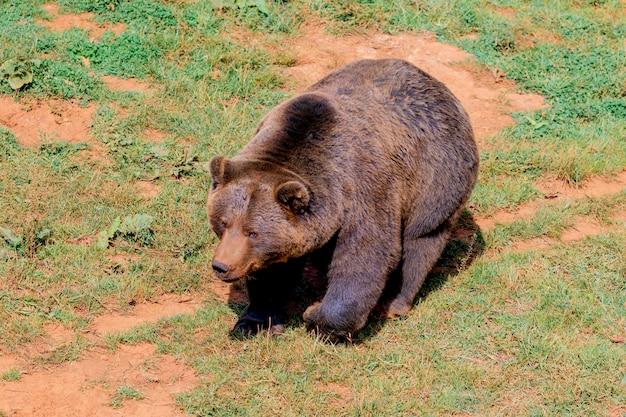 Lindo urso espanhol marrom
