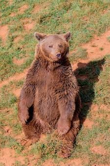 Lindo urso pardo