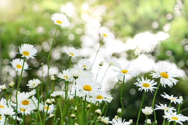 Lindo verão com florescimento da flor da margarida no fundo desfocado