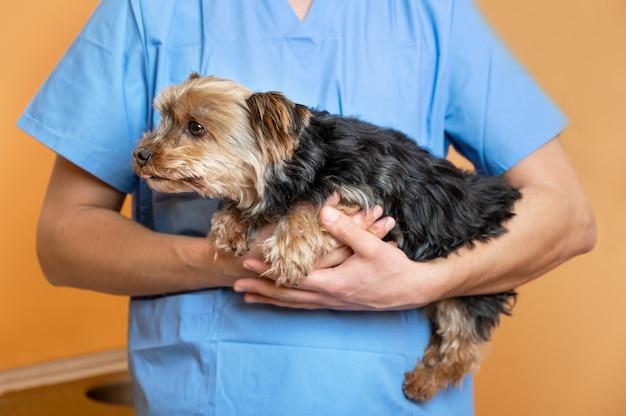 Lindo yorkshire terrier na clínica veterinária, um médico está segurando e acariciando-o, o conceito de cuidados com animais de estimação.