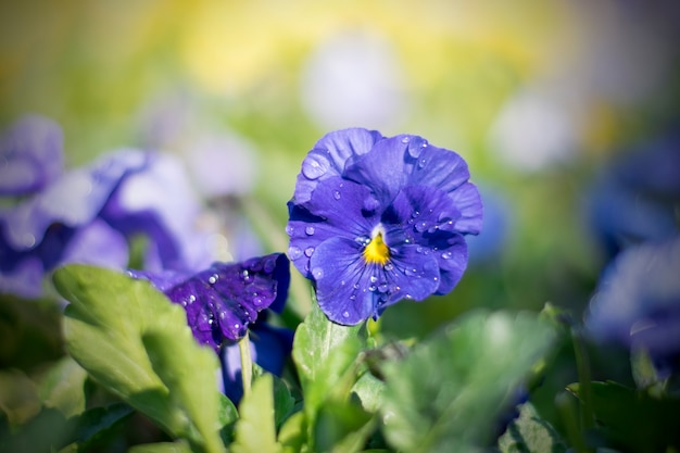 Lindos amores-perfeitos azuis ao sol e ao orvalho