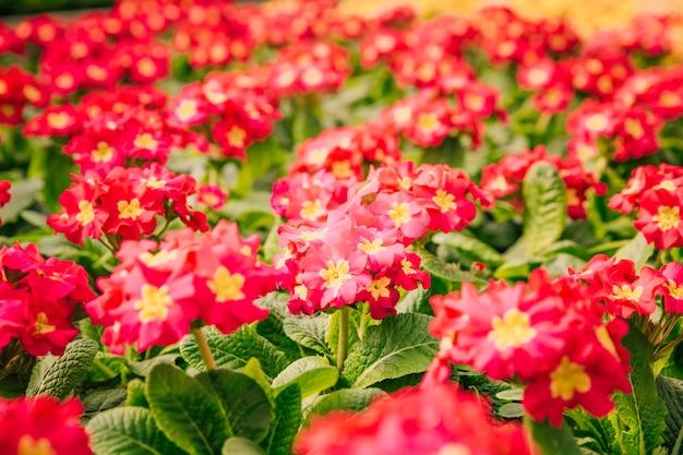 Lindos arbustos de flor vermelha e amarela na primavera