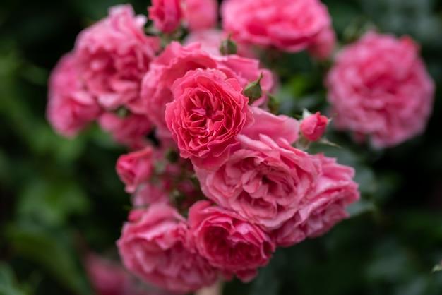 Lindos arbustos de rosas