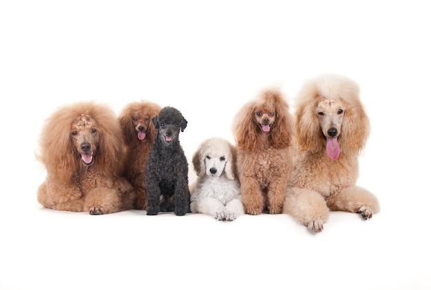 Lindos cães domésticos sentados em uma superfície branca e olhando para a câmera