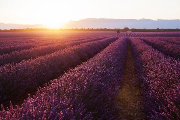 Lindos campos frígidos ao pôr do sol. valensole, provence, frança