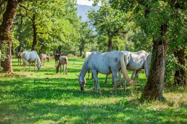 Lindos cavalos brancos pastando em lipica, o parque nacional da eslovênia
