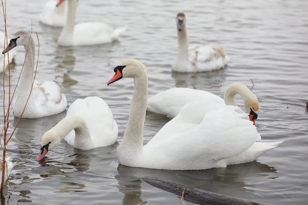 Lindos cisnes brancos flutuando na água.