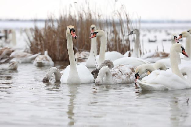 Lindos cisnes brancos nadando na água