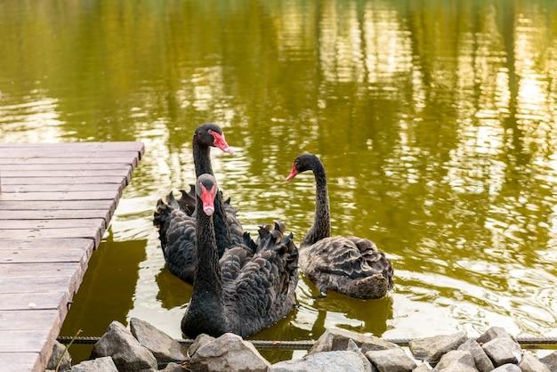 Lindos cisnes negros nadam ao longo das margens de um pequeno rio. descanse no outono