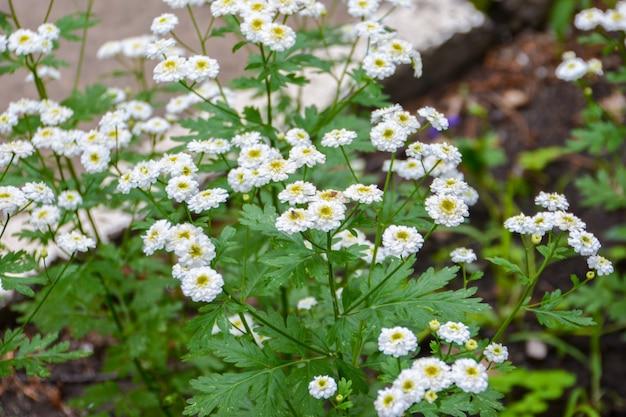 Lindos crisântemos brancos no jardim. flores de outono. fundo floral.