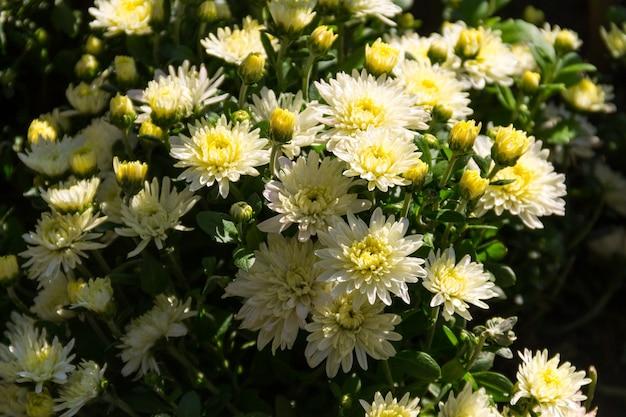 Lindos crisântemos em um canteiro de flores no jardim no outono