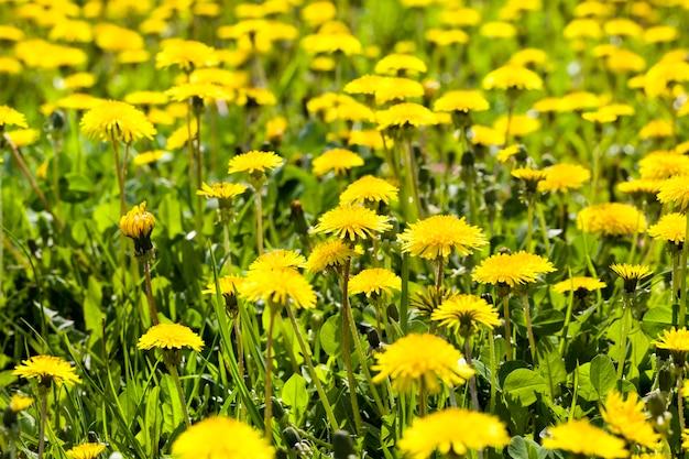 Lindos dentes-de-leão amarelos no campo com grama verde no campo de primavera
