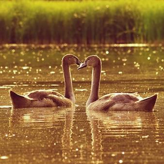 Lindos filhotes de cisnes na lagoa. belo fundo colorido natural com animais selvagens. primavera.