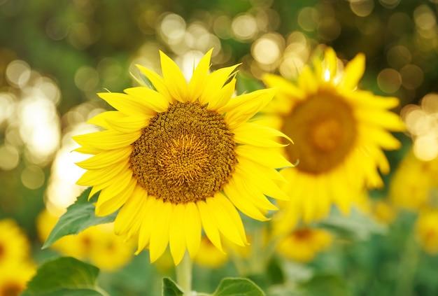 Lindos girassóis florescendo no campo. campo de girassol colorido
