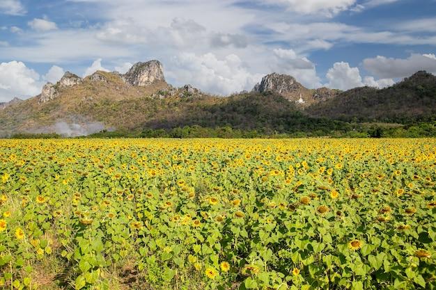 Lindos girassóis no campo de primavera e a planta de girassol, província de lopburi, tailândia
