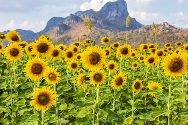 Lindos girassóis no campo de primavera e a planta de girassol