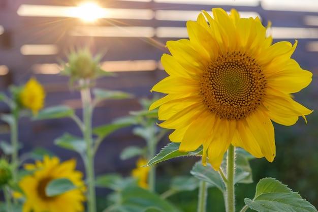 Lindos girassóis no fundo do pôr do sol no jardim