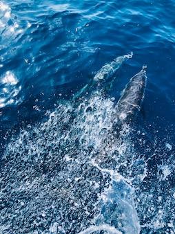 Lindos golfinhos no oceano perto das ilhas maldivas