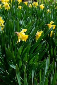 Lindos narcisos amarelos na primavera no jardim