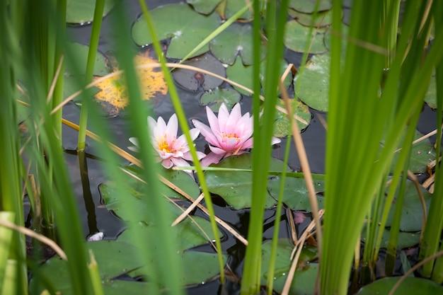 Lindos nenúfares cor-de-rosa na superfície do lago