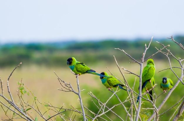 Lindos pássaros nanday periquito em uma árvore no pantanal brasileiro