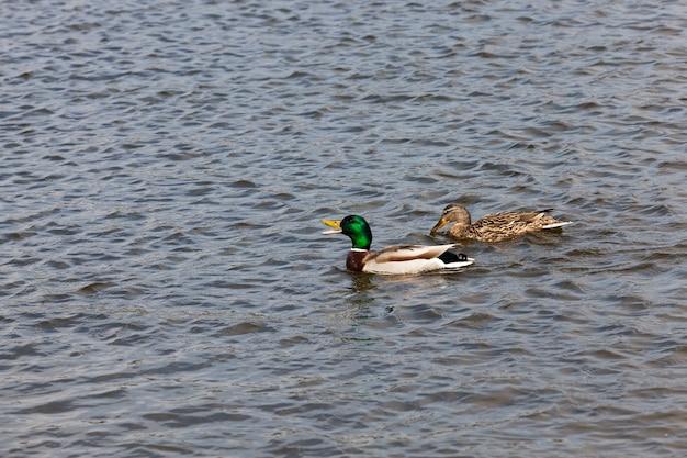 Lindos patos aves aquáticas na primavera ou verão