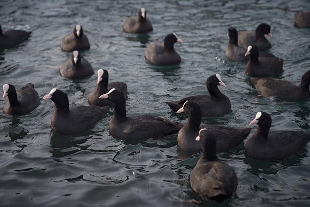 Lindos patos pretos e brancos no porto marítimo fora da cidade, à espera de guloseimas das pessoas