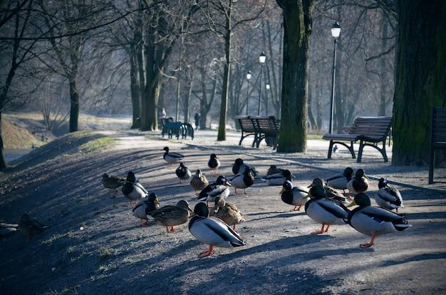 Lindos patos se aquecem ao sol sentados no parque à beira do rio