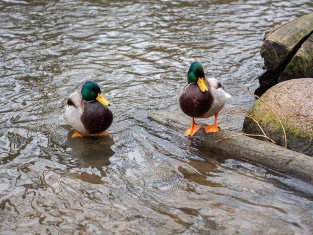 Lindos patos selvagens em águas cristalinas perto da margem do rio
