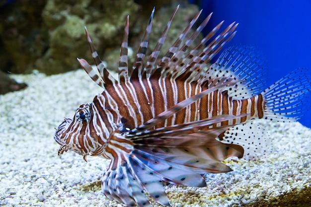 Lindos peixes exóticos brilhantes com barbatanas exuberantes e listras no aquário